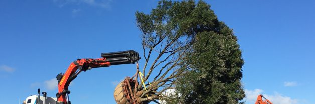 Xmases come at once for pohutakawas on Auckland project